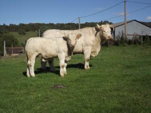 vaca charolesa